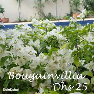 Dubai Gardening Bougainvillia