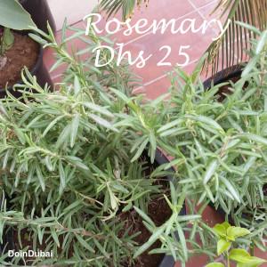 Dubai Gardening Rosemary