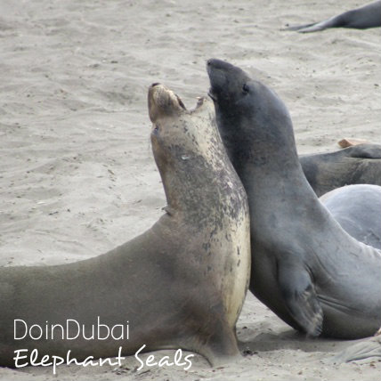 California Holiday Elephant Seals