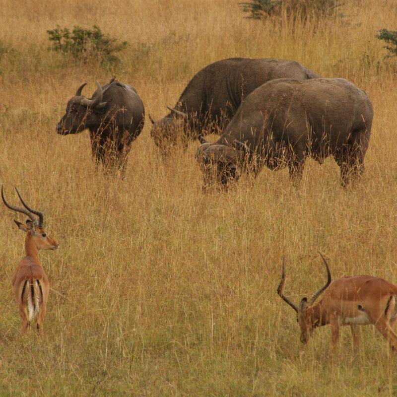 Buffalos and gazelles