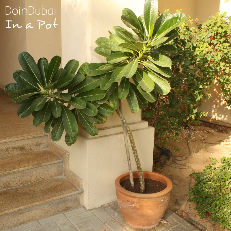 Gardening-In-Dubai-In-a-Pot